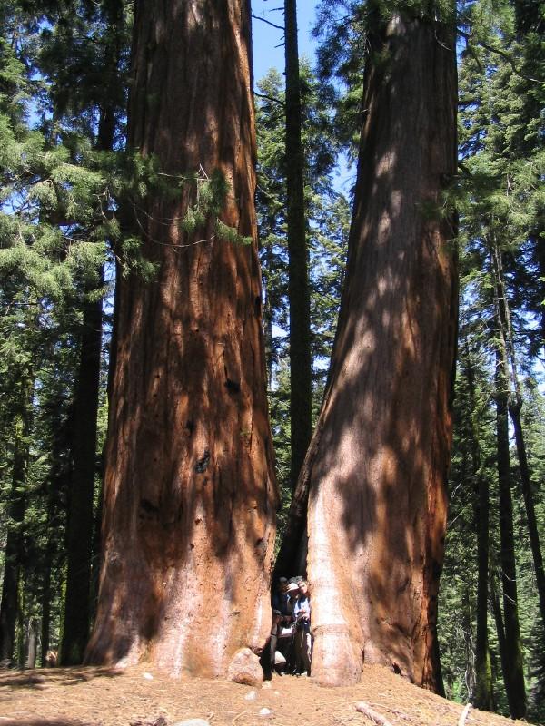 HST02%20Sequoia